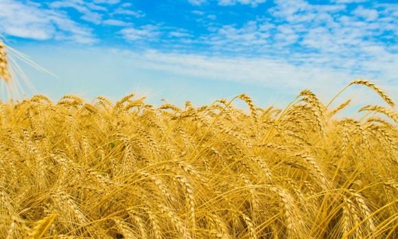 поле пшеницы колосья